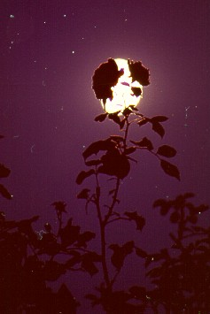 Rose mit Vollmond